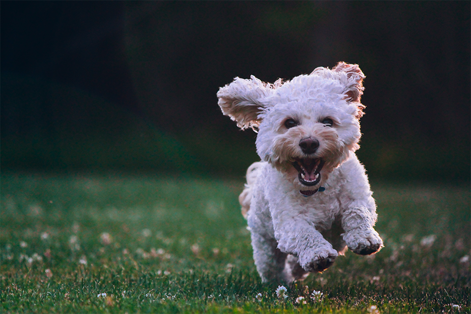 A small dog happily bounds through a lawn.