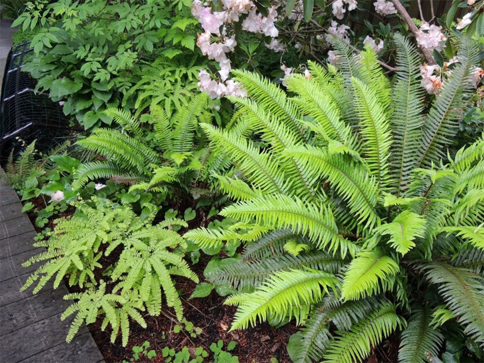 A certified backyard habitat thrives with maidenhair fern, sword fern and a flowering rhododendron.