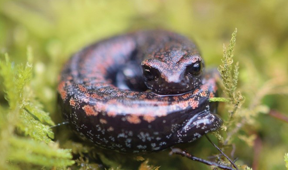 A black and orange spotted salamander sits curled on a bed of moss.